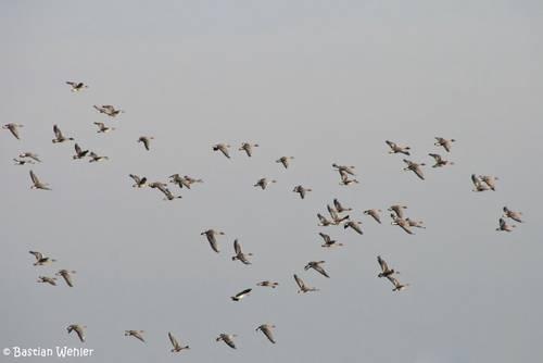 Ausschnitt aus einem riesigen Schwarm Saatgänse der sich im Anflug zur Großen Lagune im Schellbruch befindet