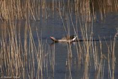 Balzende Graugans im Biosphärenreservat Schaalsee