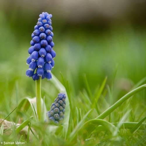 Blau blühende Traubenhyazinthe