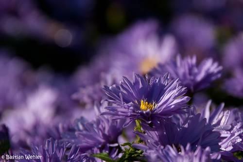 Blau-violette Blüten mehrerer Herbstastern