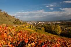 Blick über den Weinberg mit buntem Herbstlaub am Berg Hohentwiel auf die Stadt Singen
