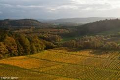 Blick über einen Weinberg mit goldgelber Laubfärbung