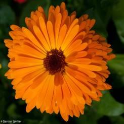 Blick von oben auf eine orange blühende Ringelblume