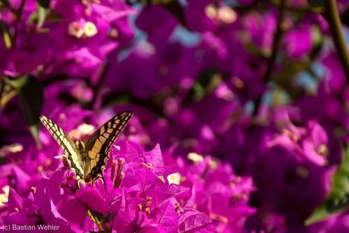 Blühende Bougainvillea mit einem Schmetterling, vermutlich ein Schwalbenschwanz, in Südfrankreich