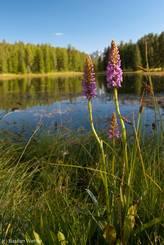 Blühende Orchideen am Ufer des Lac de la Roue