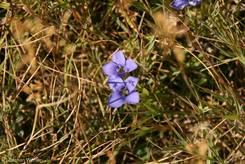 Blühender Enzian auf den Wiesen rund um den Bergsee