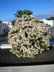 Blühender Geldbaum auf Lanzarote