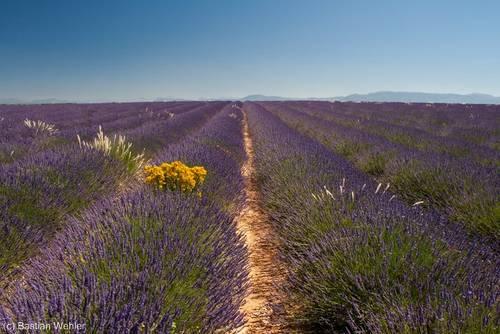 Blühender Lavendel bis zum Horizont auf dem Plateau de Valensole in der Provence