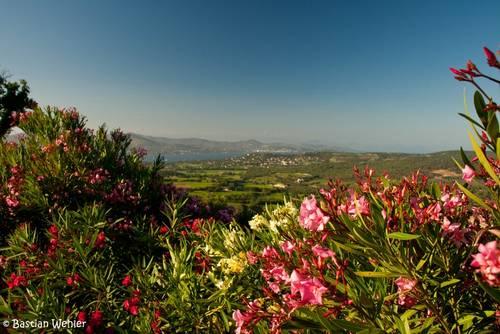 Blühender Oleander mit dem Mittelmeer im Hintergrund