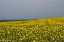 Blühendes Rapsfeld an der Ostseeküste zwischen Niendorf und Travemünde