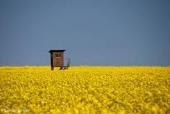 Blühendes Rapsfeld mit einem Hochsitz mitten drin