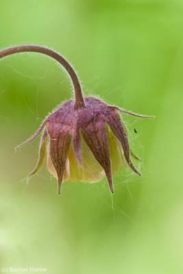 Blüte des Bachnelkenwurz (Geum rivale)