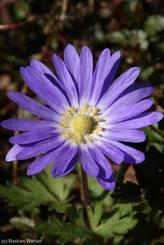 Blüte einer blauvioletten Strahlenanemone (Anemone blanda), auch Balkan-Windröschen genannt
