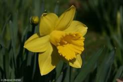 Blüte einer gelben Narzisse