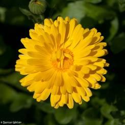 Blüte einer gelben Ringelblume von oben