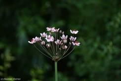 Blüte einer Schwanenblume (Butomus umbellatus)