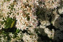 Blüten des Geldbaums