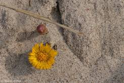 Blüten des Huflattichs (Tussilago farfara)