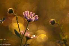 Blume an einem Herbstmorgen im Licht der aufgehenden Sonne