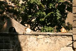 Bonnieux: Drei Katzen auf einer Mauer im Dorf