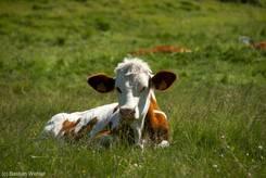 Braun-weiße Kuh auf einer Weide nicht weit entfernt vom Pass