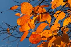 Bunt gefärbte Blätter einer Felsenbirne im Herbst