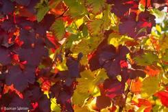Bunte Blätter im Weinberg