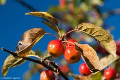 Bunte Früchte eines Zierapfels