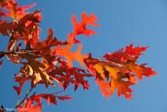 Bunte Herbstfärbung einer amerikanischen Roteiche