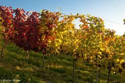 Bunte Weinstöcke auf einem Weinberg in Südbaden im Herbst