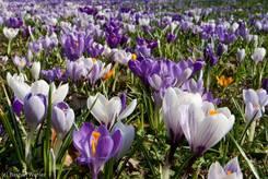 Bunte Wiese hauptsächlich Großblumiger Krokusse
