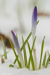 Die ersten Krokus-Blüten kommen durch die Schneedecke
