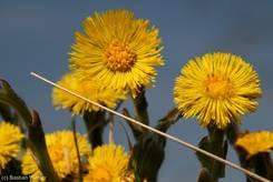 Die gelben Blüten des Huflattichs im Frühling 2010