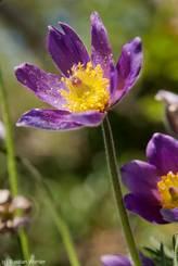 Dunkel violett blühende Gewöhnliche Kuhschelle