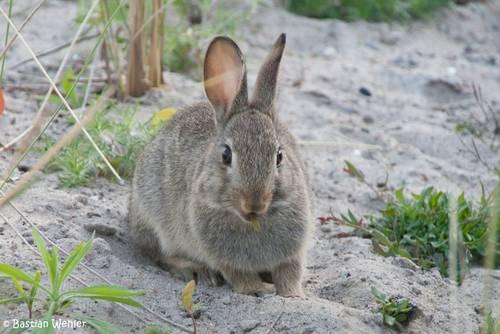Ein Kaninchen in den Dünen bei Niendorf/Ostsee