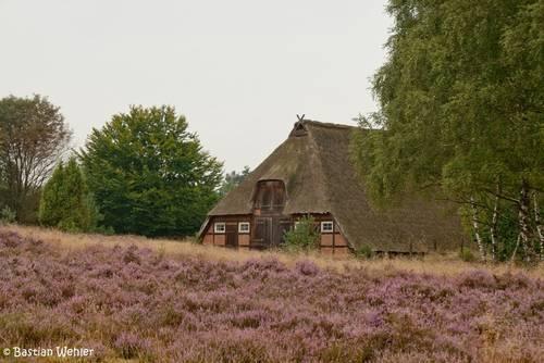 Ein Reetdachhaus in mitten blühende Heide