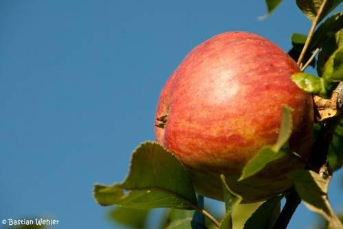 Ein reifer Apfel an einem Apfelbaum auf einer Obstwiese im Hegau
