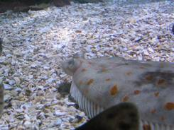 Ein Rochen im Nordseebecken Ein Rochen von unten Ein Steinbutt Eine Scholle Nahaufnahme der Scholle Eine Nordseekrabbe
