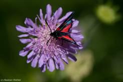 Ein Widderchen bzw. Blutströpfchen (Zygaena spec.), ein schwarz-rot gepunkteter tagaktiver Nachtfalter auf einer violetten Blüte