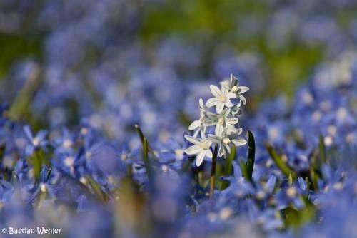 Eine einzelne weiß blühende Puschkinie hat sich zwischen einen ganzen Teppich blau blühender Sternhyazinthen verirrt