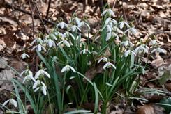 Eine Gruppe blühender Schneeglöckchen am Waldboden