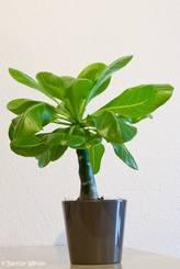 Eine Hawaiipalme (Brighamia insignis) als Zimmerpflanze