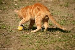 Eine Katze in der Provence holt etwas zu Fressen aus einer kleinen Schale
