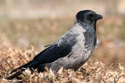 Eine Nebelkrähe (Corvus cornix)