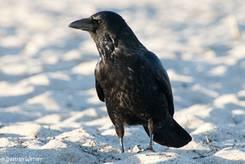 Eine Rabenkrähe (Corvus corone) am Strand
