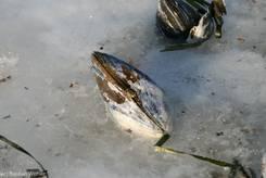 Festgefrorene Miesmuschel am Strand von Scharbeutz (26.01.2010)