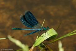 Gebänderte Prachtlibelle, Männchen mit geöffneten Flügeln