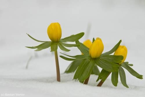Gelb blühende Winterlinge im Schnee