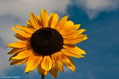 Gelb-rötlich blühende Sonnenblume