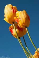 Gelb-rot geflammte Blüten mehrerer Tulpen und dazu ein kräftiger blauer Himmel